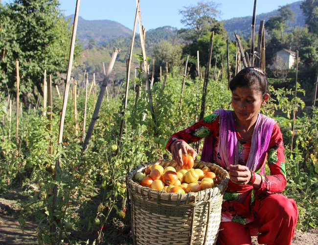Kamala Joshi, a leader farmer from Gajra, Achham at her tomato field.jpg