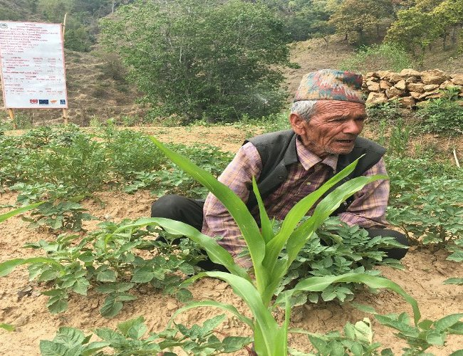 Vegetable farming supported by NCCSP in Parimela village of Dailekh district.jpg